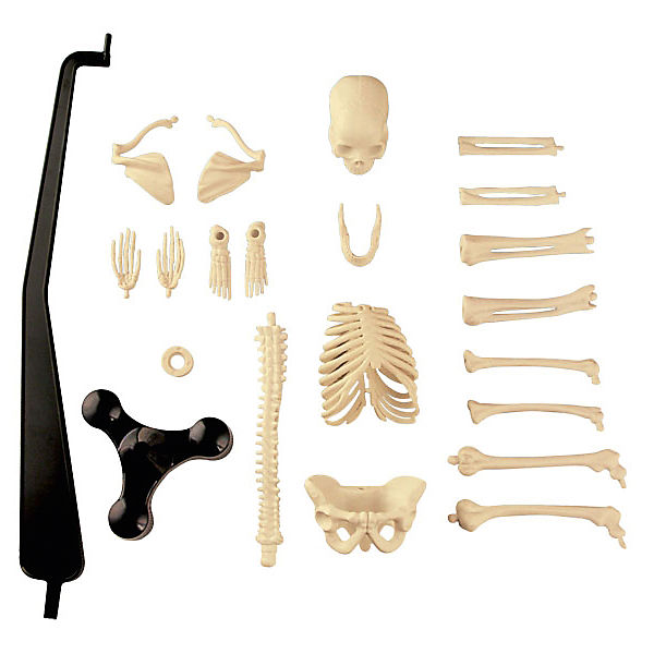Сборная модель скелета, Edu-Toys