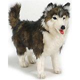 Собака породы Сибирский Хаски, 40 см