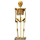 Скелет человека, Мир деревянных игрушек