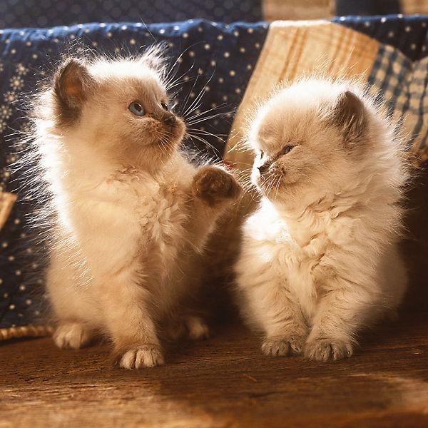 Пазл «Персидские котята» 500 шт