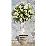 Картина по номерам Schipper Розовое дерево белое, 40х80 см