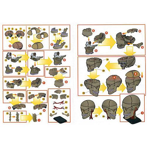 """Анатомический набор """"Череп"""", Edu-Toys от Edu-Toys"""