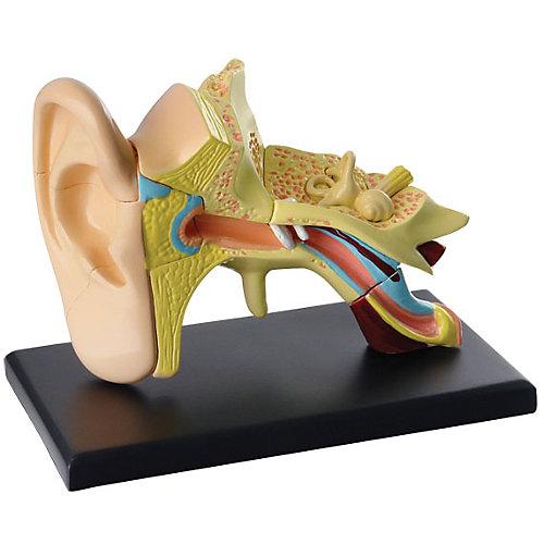 """Анатомический набор """"Ухо"""", Edu-Toys от Edu-Toys"""