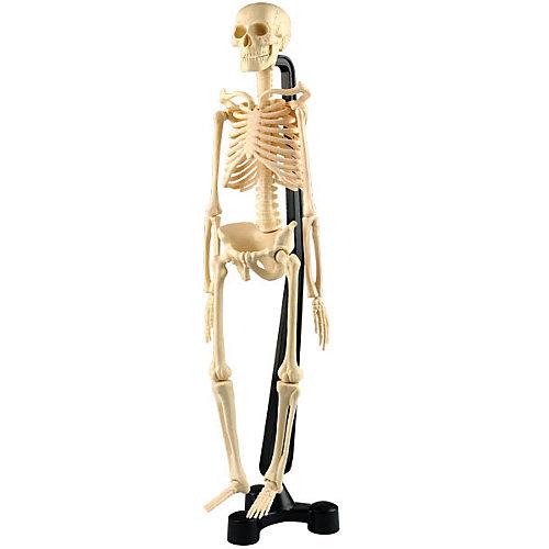 Сборная модель скелета, Edu-Toys от Edu-Toys